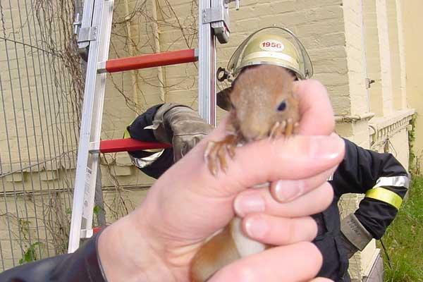 Nein, nicht das Eichhörnchen im Vordergrund, sondern der Kamerad im Hintergrund trägt den Helm auf dem Kopf.