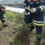 Neun kleine Küken werden eingefangen - gar nicht so leicht.<br>(Copyright Freiwillige Feuerwehr Langenhorn-Nord)