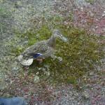 Die Entenmutter ist nervös...<br>(Copyright Freiwillige Feuerwehr Langenhorn-Nord)