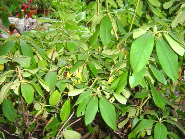 Insbesondere Rhododendren sollen gewässert werden. Um den Kameraden die Identifikation dieser Pflanzen zu ermöglichen, hat das Team von feuerwehr-hamburg.de unverzüglich ein Exemplar abgelichtet.