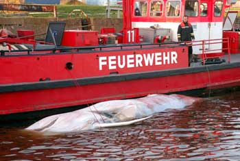 Ein Feuerwehrmann betrachtet am Dienstag (14.10.03) den an der Bordwand eines Feuerwehrschiffes befestigten Kadaver eines 12 Meter langen Wales, der in den fruehen Morgenstunden von Hafenarbeitern im Hafenbecken des Hamburger Hafens entdeckt wurde. Das Tier habe Verletzungen, die durch Schiffsschrauben entstanden seien, sagte ein Sprecher der Hamburger Feuerwehr. Der Kadaver ist bereits teilweise verwest. Wie der Wal in den Hafen gelangen konnte und um welche Walart es sich handelt, ist unklar. Foto: Sven Karsten/ddp